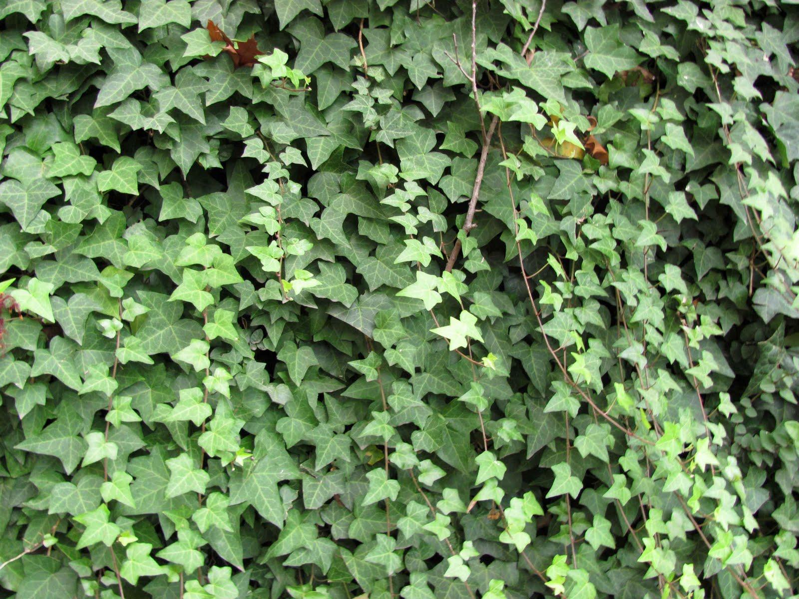 Enamorada del muro vivero arg ello for Plantas trepadoras para muros