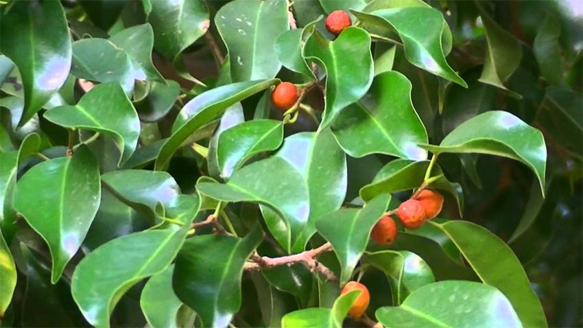Ficus benjamina vivero arg ello for Ficus interior cuidados