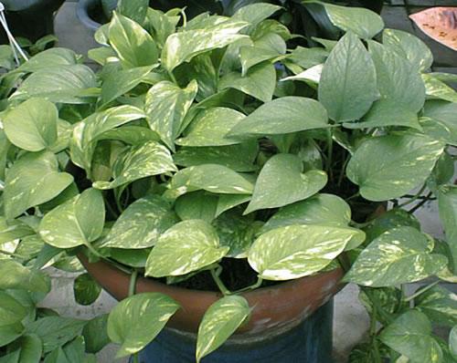 Potus vivero arg ello - Variedades de plantas de interior ...